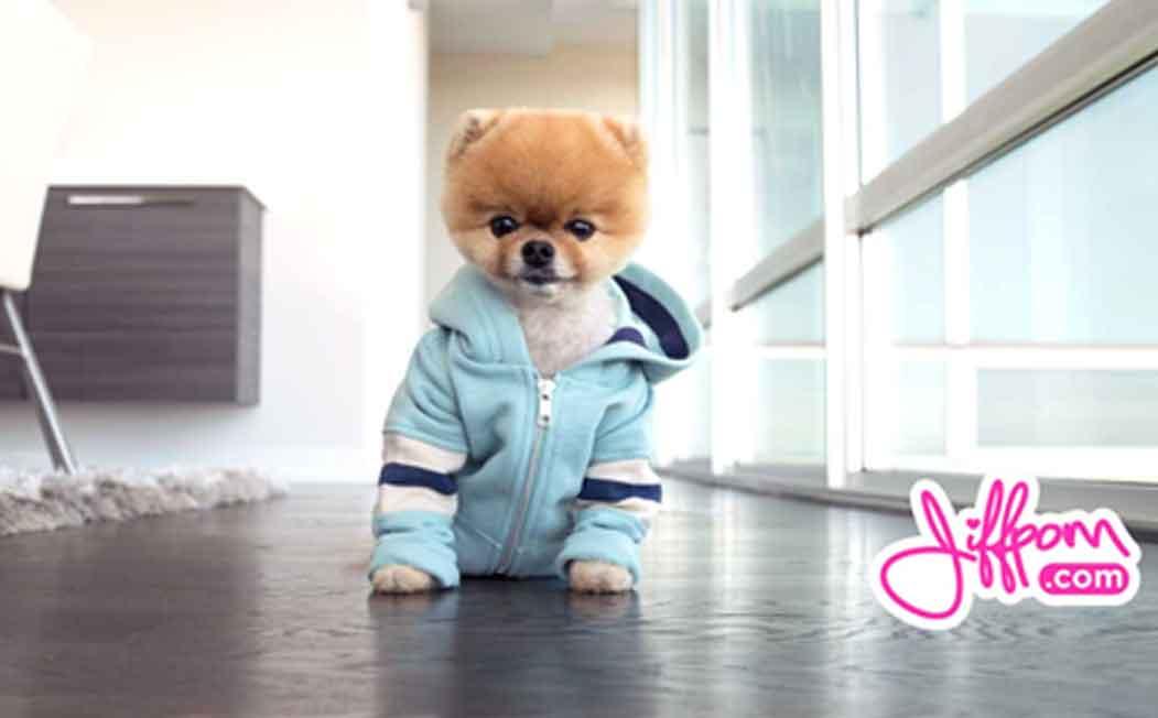 Jiff Pom ESA Dog