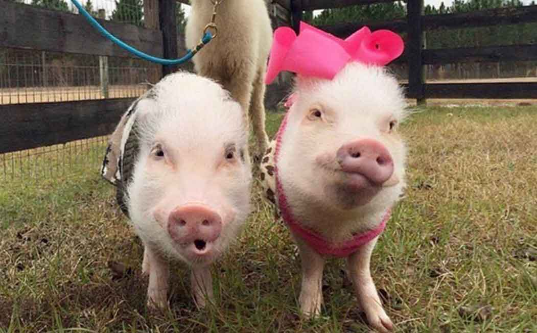 Prissy and Pop ESA Pigs