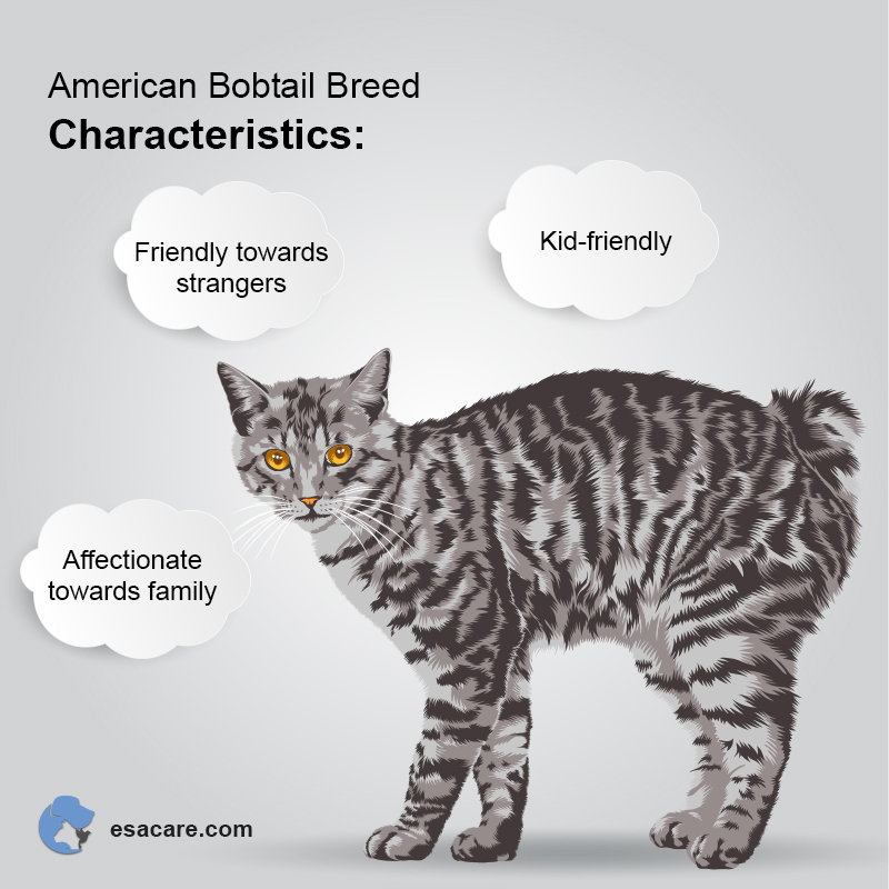 American Bobtail